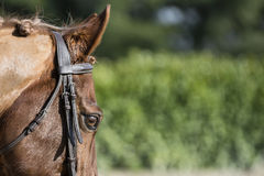 Beautiful horse eye Stock Photography