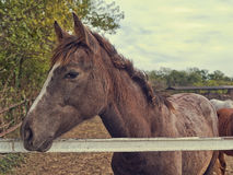 Beautiful Horse on the farm ranch Royalty Free Stock Images