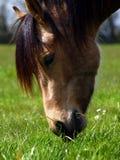 Beautiful Horse feeding Stock Images