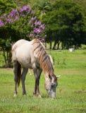 Beautiful horse feeding on grass Stock Image