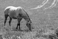 Beautiful Horse Feeding On Sunny Day Black And White Royalty Free Stock Photos