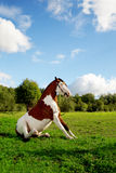 A beautiful horse in the field is sitting on the g Royalty Free Stock Photo