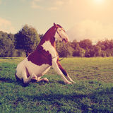 A beautiful horse in the field is sitting on the grass. Horse si Stock Photo