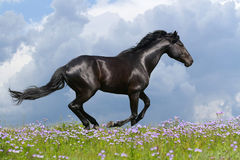 Beautiful horse galloping Royalty Free Stock Photos