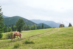 Beautiful horse goes to pasture. Royalty Free Stock Photography