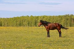 The beautiful horse is grazed on a green meadow Stock Photos