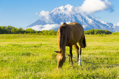 Beautiful horse grazes on a green meadow in the autumn Royalty Free Stock Photos