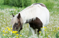 Beautiful horse grazes in  meadow Royalty Free Stock Photos
