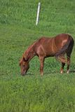 Beautiful horse grazing. Beautiful brown horse in green pasture Royalty Free Stock Photo