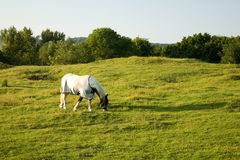 Beautiful Horse Grazing Royalty Free Stock Images