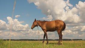 Beautiful horse grazing in field. stock footage
