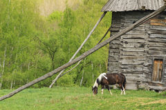 Beautiful horse grazing near the old mill Stock Image