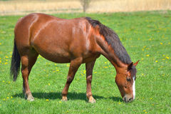 Beautiful horse on the green grass pasture Royalty Free Stock Images