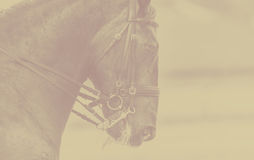 Beautiful horse head on a background monochrome bacjground, banner Stock Photography