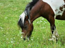 Free Beautiful Horse In The Meadow Eating Grass Royalty Free Stock Images - 179602189
