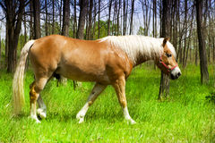 Beautiful Horse Lives Freely In The Woods. Royalty Free Stock Photo