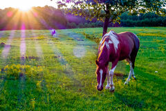 Beautiful  horse on the pasture at sunset in south carolina moun Royalty Free Stock Image