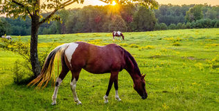 Beautiful  horse on the pasture at sunset in south carolina moun Stock Photo