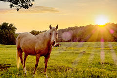 Beautiful  horse on the pasture at sunset in south carolina moun Stock Image