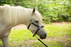 Beautiful Horse Posing for Camera. Beautiful Pedigree Horse posing for the camera royalty free stock image