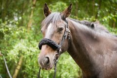 Beautiful Horse Posing for Camera Royalty Free Stock Photography