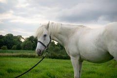 Beautiful Horse Posing for Camera. Beautiful Pedigree Horse posing for the camera royalty free stock images