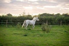 Beautiful Horse Posing for Camera. Beautiful Pedigree Horse posing for the camera stock photos