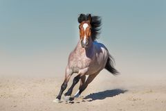 Beautiful horse run in desert. Roan horse free run fast in sandy dast royalty free stock photo
