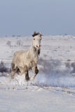 Beautiful horse run gallop in winter snow Stock Image