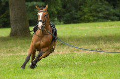 Beautiful horse running Stock Photography