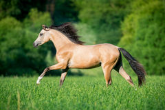 Beautiful horse running in forest Stock Image