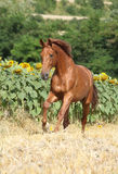 Beautiful horse running in front of sunflowers Royalty Free Stock Images