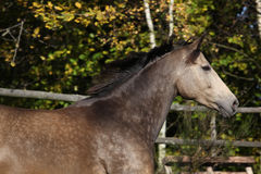 Beautiful horse running on pasturage in autumn Stock Photos