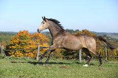 Beautiful horse running on pasturage in autumn Stock Photo