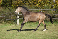 Beautiful horse running on pasturage in autumn Royalty Free Stock Photography