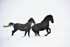 Beautiful horse running Stock Image
