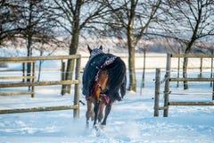 Beautiful horse running in winter stock image