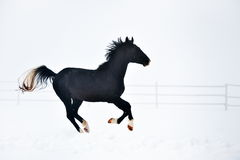 Beautiful horse running in winter Stock Image