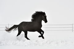 Beautiful horse running in winter Royalty Free Stock Photo