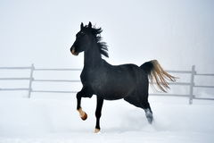 Beautiful horse running in winter Stock Photography