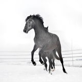 Beautiful horse running in winter Stock Images