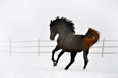 Beautiful horse running in winter Royalty Free Stock Photography