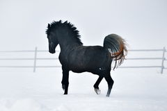 Beautiful horse running in winter Royalty Free Stock Images