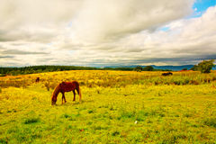 Beautiful horse in Scottish Summer Fields Stock Photos