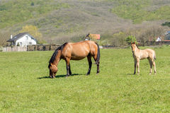 Beautiful horse and a small foal grazing Royalty Free Stock Photo