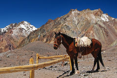 Beautiful  horse in snowy mountains Royalty Free Stock Photography