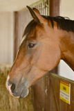 Beautiful horse in a stable Stock Photography