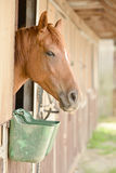 Beautiful horse in a stable Royalty Free Stock Photo