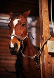 Beautiful horse. In the stables Stock Photography