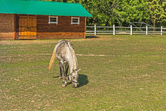 A beautiful horse on a summer playground in the background of a fragment of a stable in Mezhyhiria near Kiev. stock image